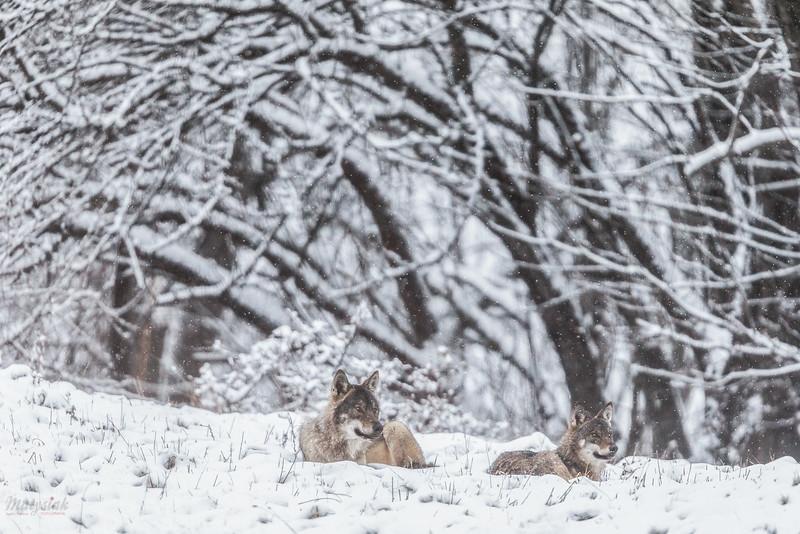 Wilki (Canis lupus) podczas odpoczynku w łowach<br /> Bieszczady<br /> ©Mateusz Matysiak