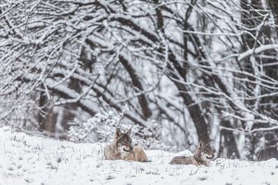 Wilki (Canis lupus) podczas odpoczynku w łowach Bieszczady ©Mateusz Matysiak