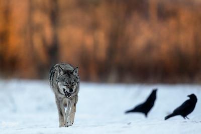 Z drrrogi cwaniaki, Pan Wolf nadchodzi!