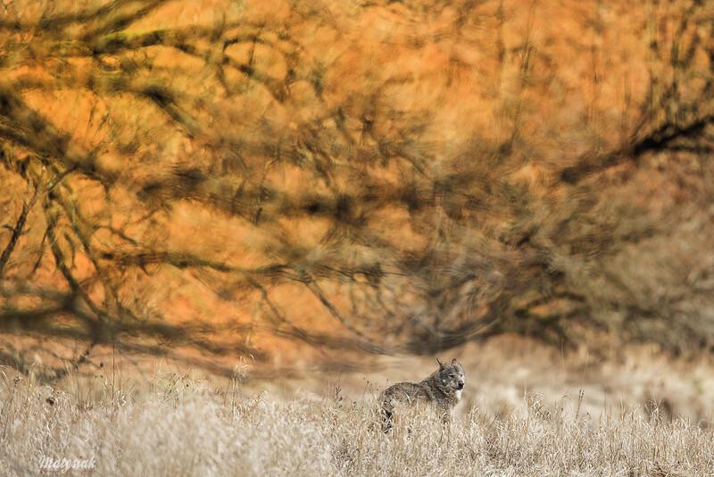 Wilk (Canis lupus)<br /> dolina Sanu, Bieszczady<br /> ©Mateusz Matysiak