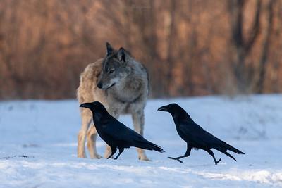 Para wilczych ptaków