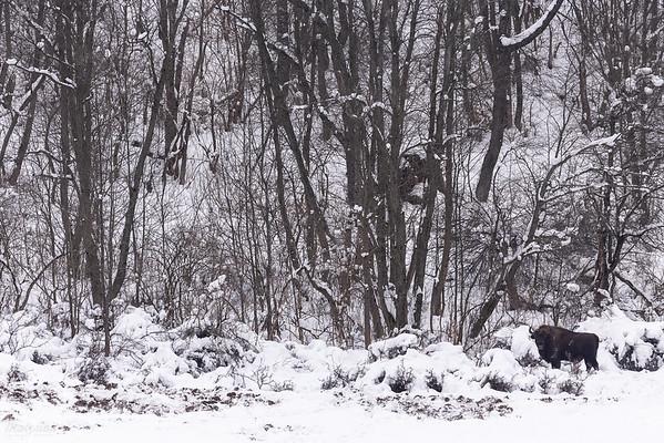 Samotny byk żubra (Bison bonasus) Bieszczady ©Mateusz Matysiak