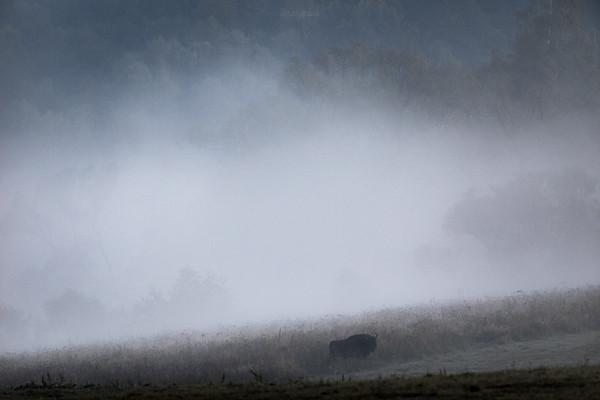 Wędrujący młody byk żubra (Bison bonasus) Bieszczady ©Mateusz Matysiak