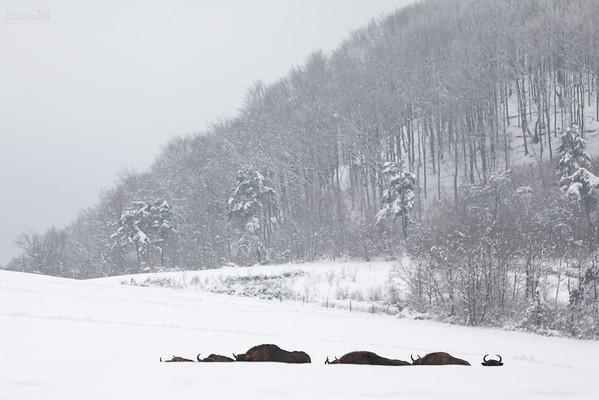 Chmara wędrujących żubrów (Bison bonasus) Bieszczady ©Mateusz Matysiak