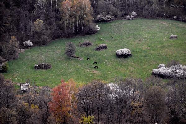 Wiosenny popas żubrów (Bison bonasus) i jeleni (Cervus elaphus) Bieszczady ©Mateusz Matysiak