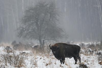 Byk żubra (Bison bonasus) Puszcza Białowieska ©Mateusz Matysiak
