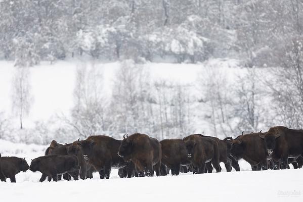 Chmara żubrów (Bison bonasus) Bieszczady ©Mateusz Matysiak