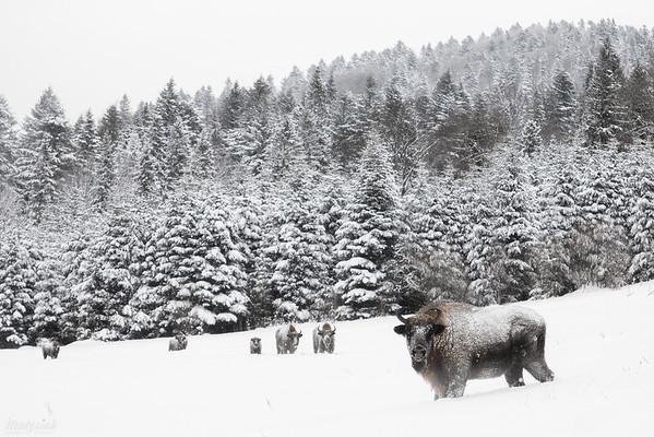 Stadko żubrów (Bison bonasus) z dorosłą, doświadczoną krową na przodzie Bieszczady ©Mateusz Matysiak
