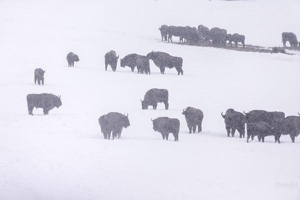 Chmara żubrów (Bison bonasus) w miejscu zimowego dokarmiania sianem Bieszczady ©Mateusz Matysiak