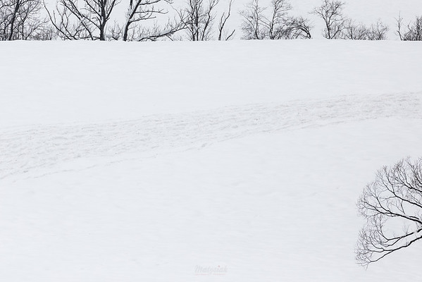 Trasa przebiegu chmary żubrów (Bison bonasus) Bieszczady ©Mateusz Matysiak