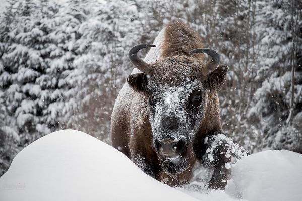 Żubr (Bison bonasus) Bieszczady ©Mateusz Matysiak