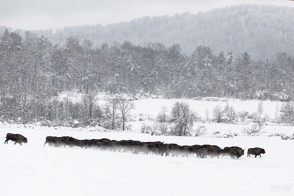 Chmara żubrów (Bison bonasus) w pędzie Bieszczady ©Mateusz Matysiak