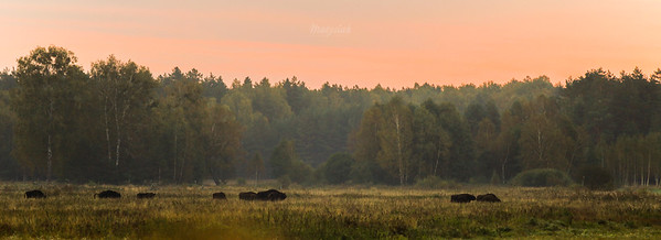 Stado żubrów (Bison bonasus) ©Mateusz Matysiak