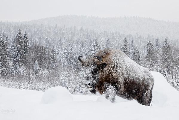 Gór śnieżnych imperator