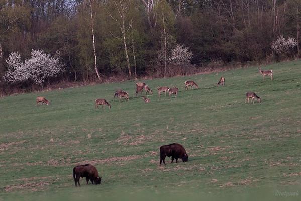 Wieczorny popas żubrów (Bison bonasus) i jeleni (Cervus elaphus) Bieszczady ©Mateusz Matysiak