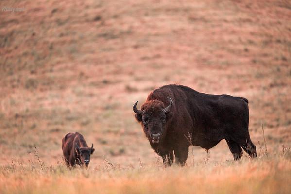 Cielę żubra (Bison bonasus) w towarzystwie dorosłego byka Bieszczady ©Mateusz Matysiak