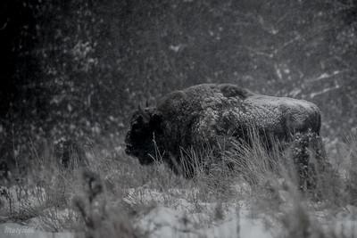 Żubr (Bison bonasus) ©Mateusz Matysiak