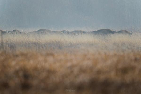 Żubry (Bison bonasus) jesienią, na śródleśnej łące Puszcza Białowieska ©Mateusz Matysiak