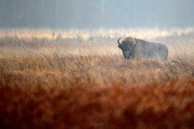 Żubr (Bison bonasus) na śródleśnej łące Puszcza Białowieska ©Mateusz Matysiak