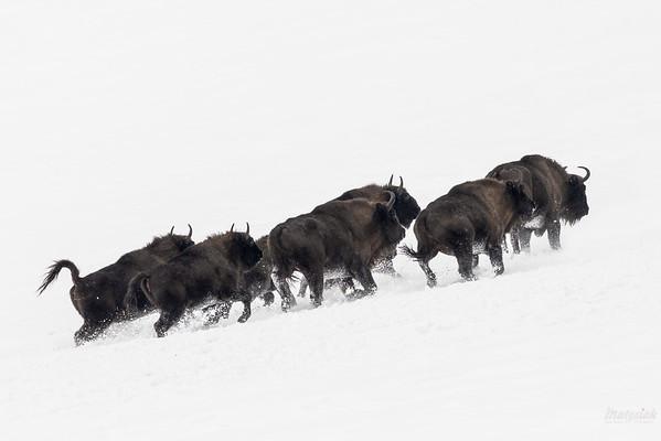 Galopujące żubry (Bison bonasus) Bieszczady ©Mateusz Matysiak