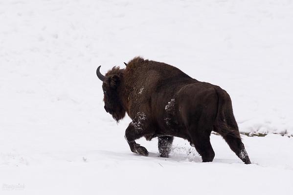 Samotny byk żubra (Bison bonasus) podczas zimowej wędrówki Bieszczady ©Mateusz Matysiak
