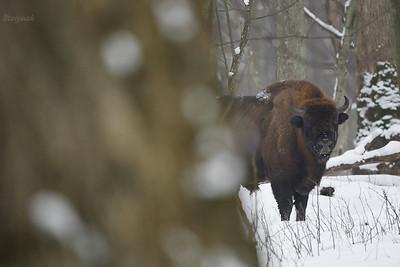 Byk żubra (Bison bonasus) ©Mateusz Matysiak