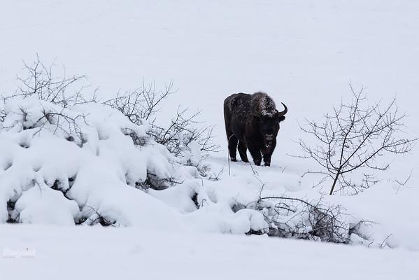 Żubr (Bison bonasus) pod osłoną tarnin Bieszczady ©Mateusz Matysiak