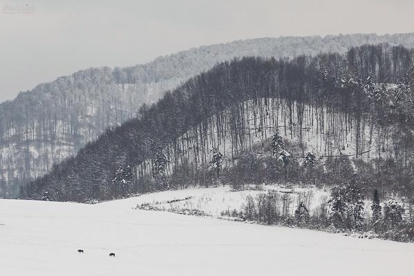 Żubry (Bison bonasus) Bieszczady ©Mateusz Matysiak