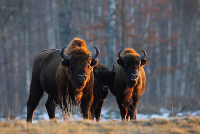 Żubry / Bisons