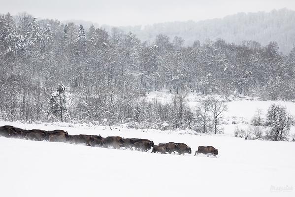 Chmara żubrów (Bison bonasus) w galopie Bieszczady ©Mateusz Matysiak