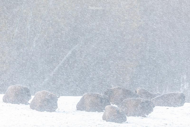Stado odpoczywających żubrów (Bison bonasus) przeczekujących gwałtowną śnieżycę<br /> Bieszczady<br /> ©Mateusz Matysiak