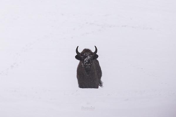 Krowa żubra (Bison bonasus) Bieszczady ©Mateusz Matysiak