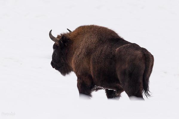 Byk żubra (Bison bonasus) Bieszczady ©Mateusz Matysiak