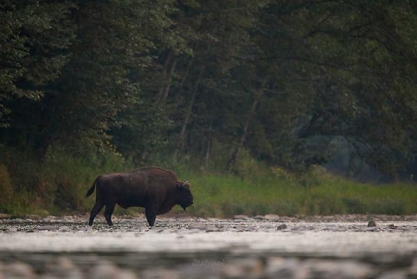 Samotny byk żubra (Bison bonasus) gaszący pragnienie San, Bieszczady ©Mateusz Matysiak