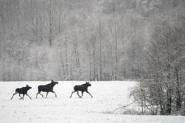łoś euroazjatycki   moose   alces alces