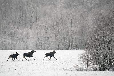 łoś euroazjatycki | moose | alces alces