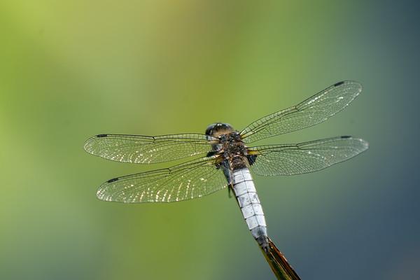 ważka ruda   scarce chaser   libellula fulva