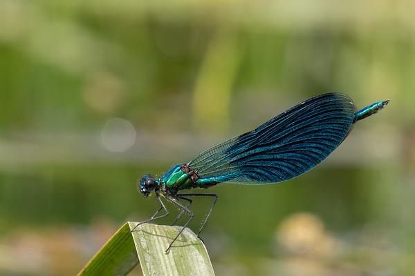 świtezianka błyszcząca | banded demoiselle | calopteryx splendens