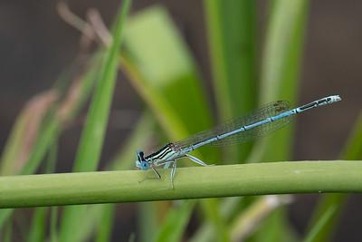 pióronóg zwykły | white-legged damselfly | platycnemis pennipes