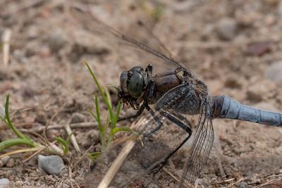 lecicha pospolita | black-tailed skimmer | orthetrum cancellatum