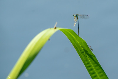 pióronóg | white-legged damselfly | platycnemis pennipes