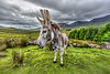 Portrait of irish donkey... not really easy if the donkey have less training on photoshooting....