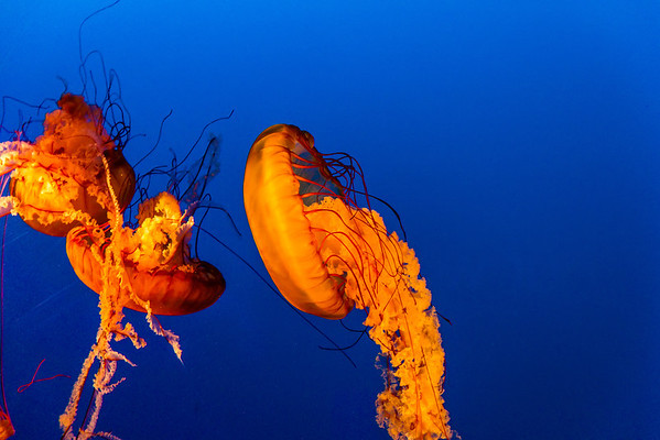 Jelly-Fish_Vancouver-Aquarium