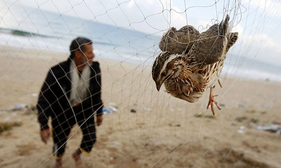 A man walks towards his net where a quail is snared on the beach of Khan Yunis in the southern Gaza, Palestine. Hunters erect hundreds of meters of yellow silk nets along the coastline to hunt migratory birds, mainly quails, which start arriving to the coasts of the Mediterranean in September. Photograph: Said Khatib/AFP/Getty Images