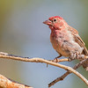 Cassin's finch, male in molt, Pt Prominence, Oregon, August 2014