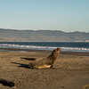 Elephant seal!