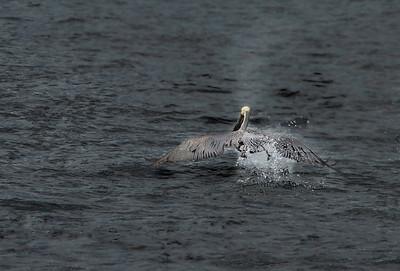 Great Blue Heron, Pt. Reyes, CA