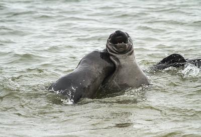 Adolescent male elephant seals III Pt. Reyes