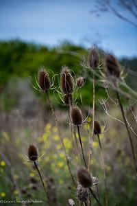 *Dipsacus sativus L.; Wetlands; Fuller's Teasel