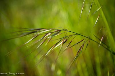 Purple Needle Grass